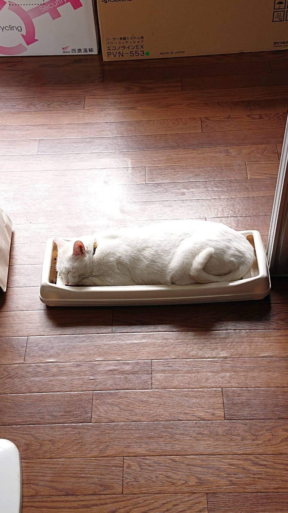 太陽館のしろ部長昼寝